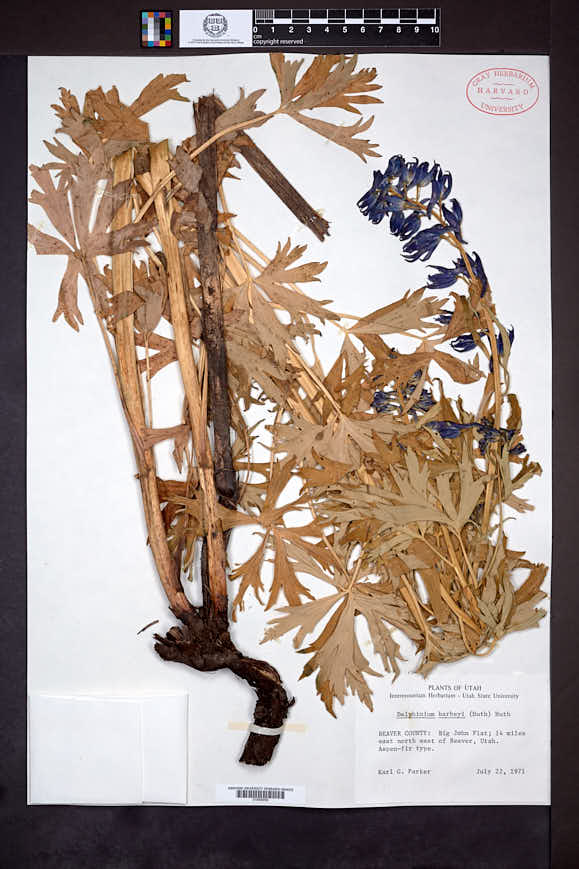 Delphinium barbeyi image