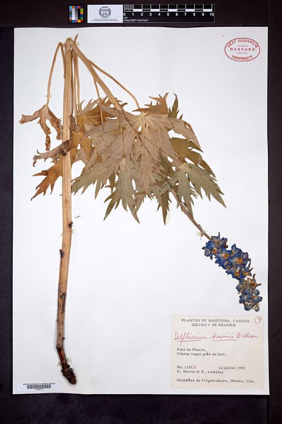 Delphinium glaucum image