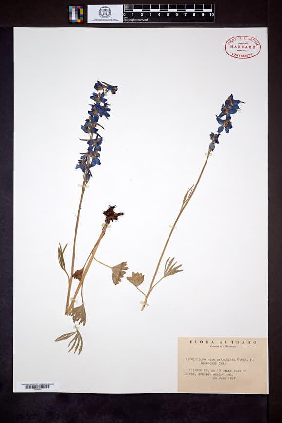 Image of Delphinium cyanoreios