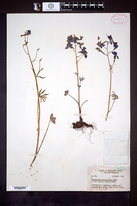 Delphinium depauperatum image