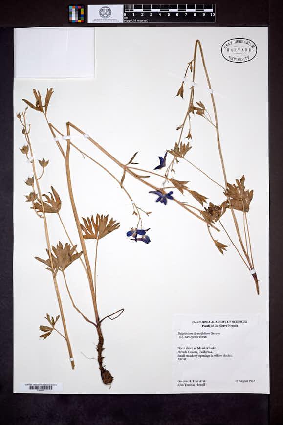 Image of Delphinium diversifolium