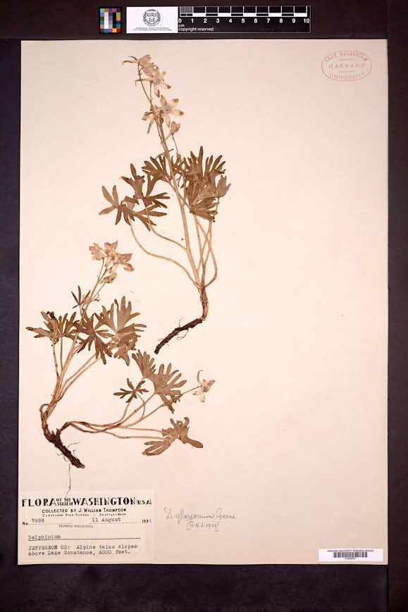 Delphinium glareosum image
