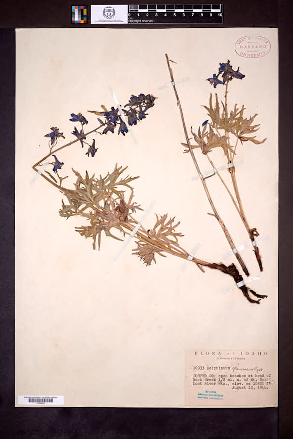 Delphinium glaucescens image