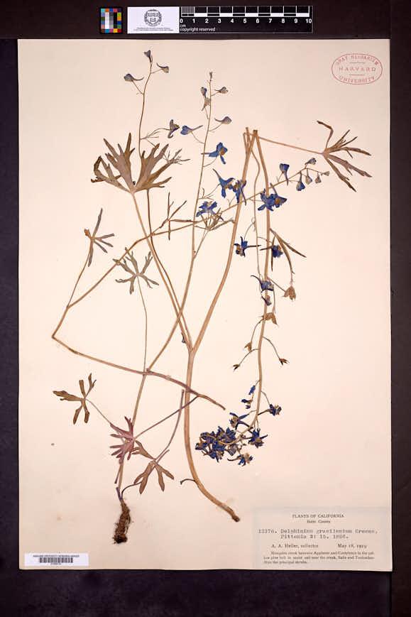 Delphinium gracilentum image