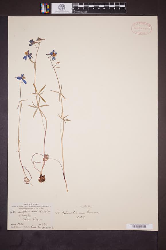 Delphinium nuttallii image
