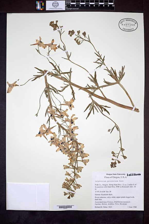 Delphinium pavonaceum image
