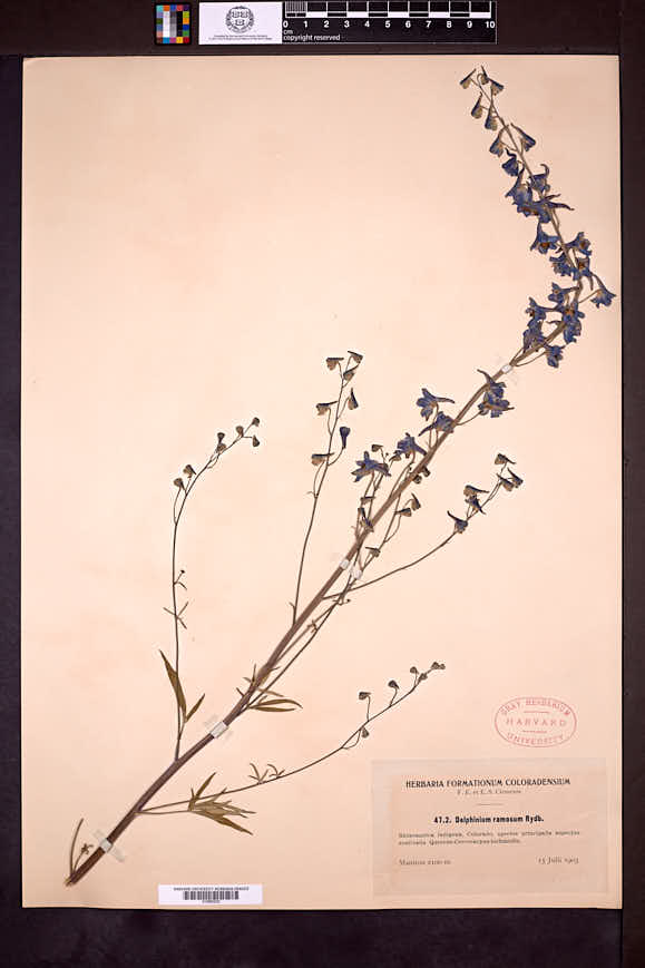 Delphinium ramosum image