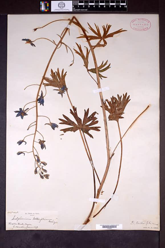 Delphinium trolliifolium image