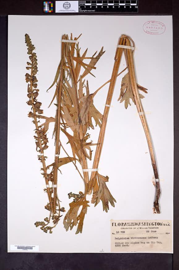 Delphinium viridescens image