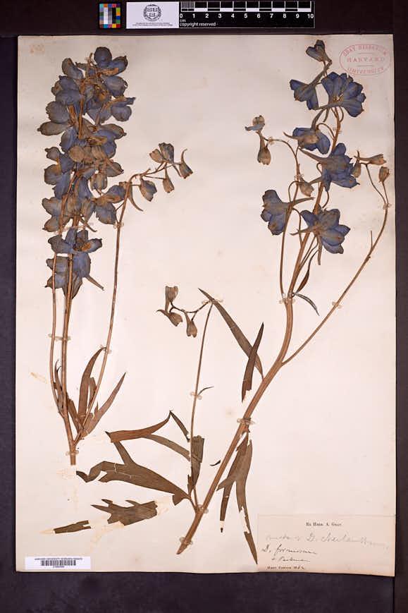 Image of Delphinium cheilanthum