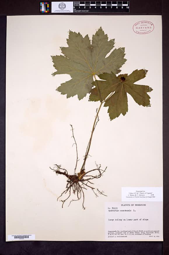 Hydrastis canadensis image