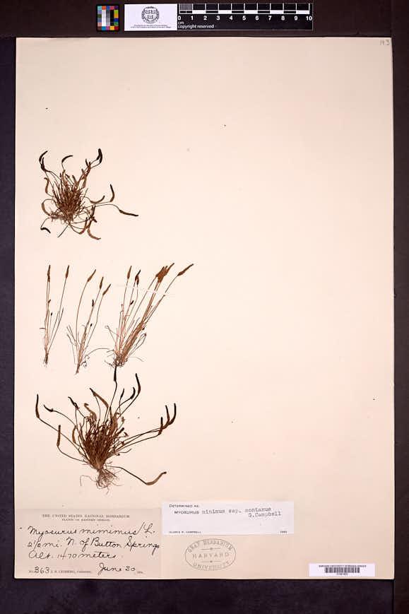 Myosurus apetalus image