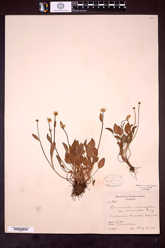 Ranunculus alismifolius var. alismellus image