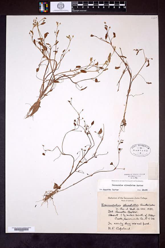 Ranunculus alveolatus image