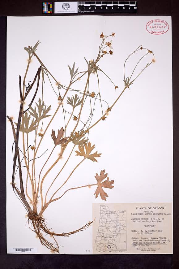 Image of Ranunculus austro-oreganus