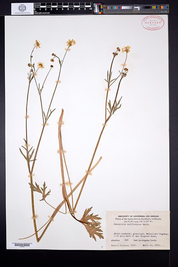Ranunculus californicus image