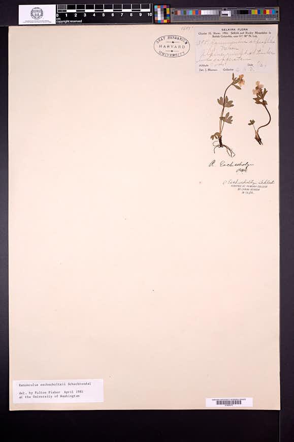 Ranunculus eschscholtzii image