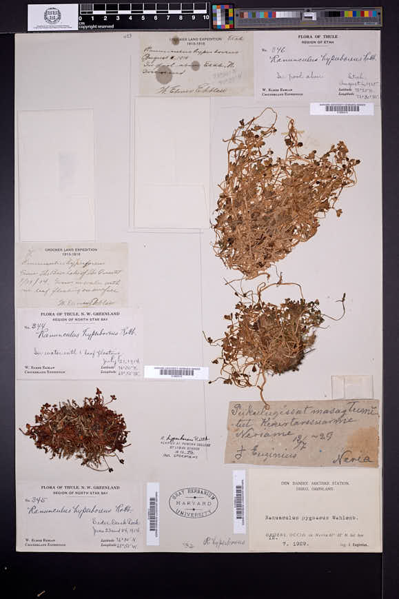 Ranunculus hyperboreus image