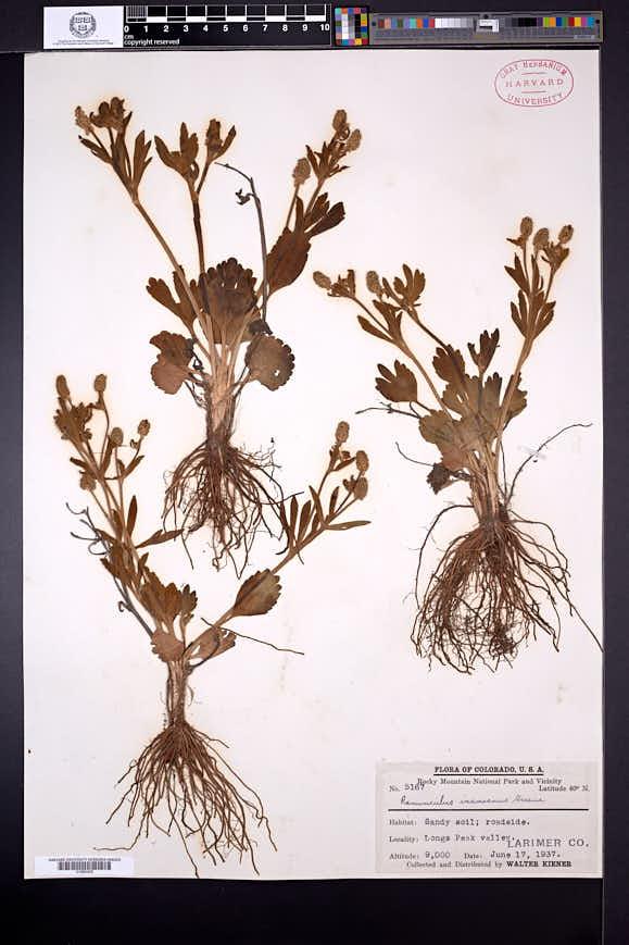 Ranunculus inamoenus image
