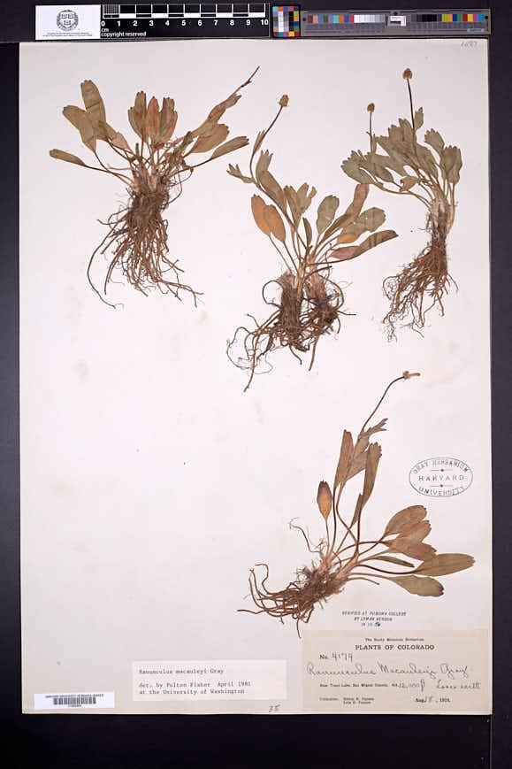 Ranunculus macauleyi image