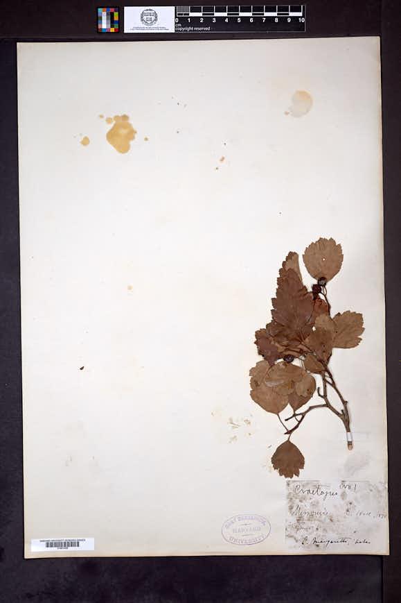 Crataegus margaretta image
