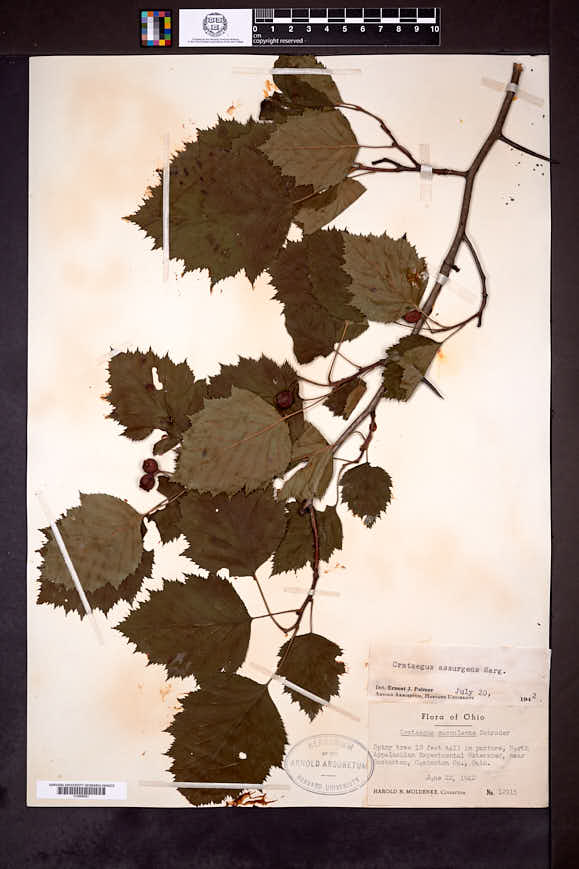 Crataegus pedicellata image
