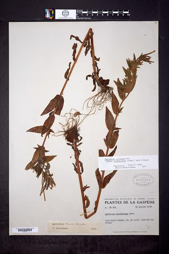Epilobium ciliatum subsp. glandulosum image