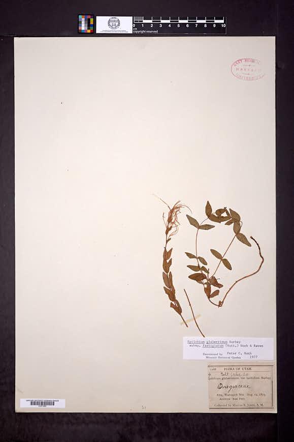 Epilobium glaberrimum subsp. fastigiatum image