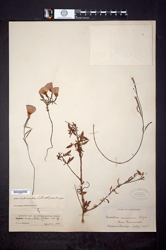 Clarkia rubicunda image