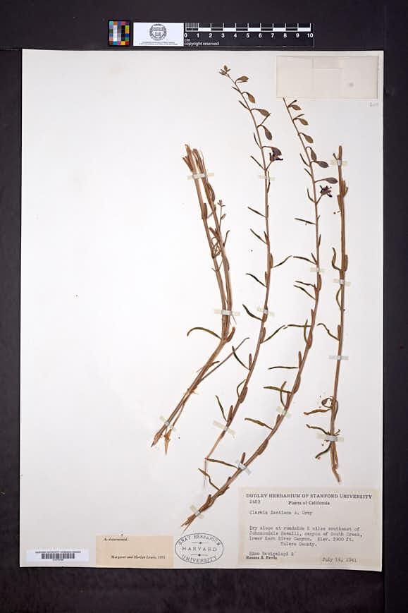 Clarkia xantiana image