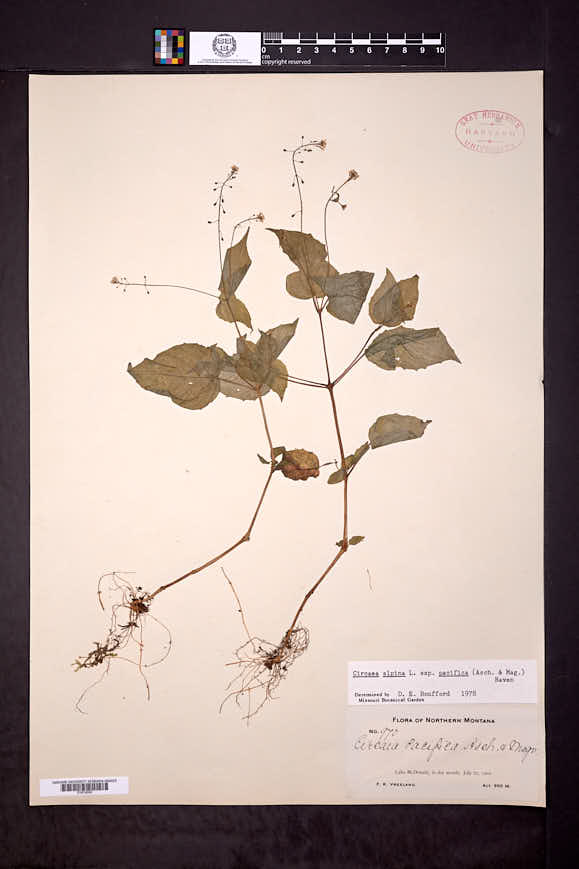 Circaea alpina subsp. pacifica image