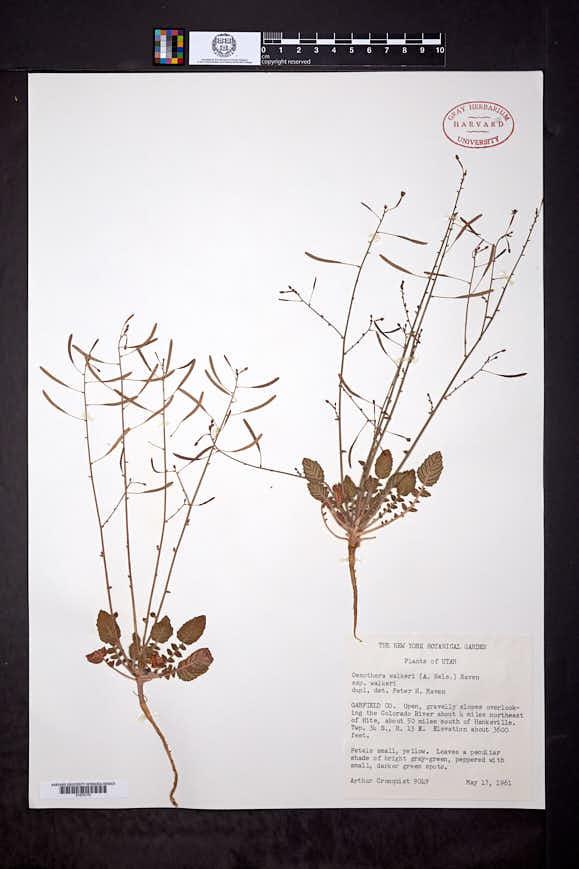 Camissonia walkeri image