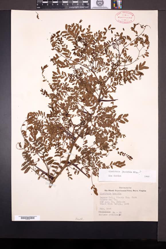 Image of Gleditsia japonica