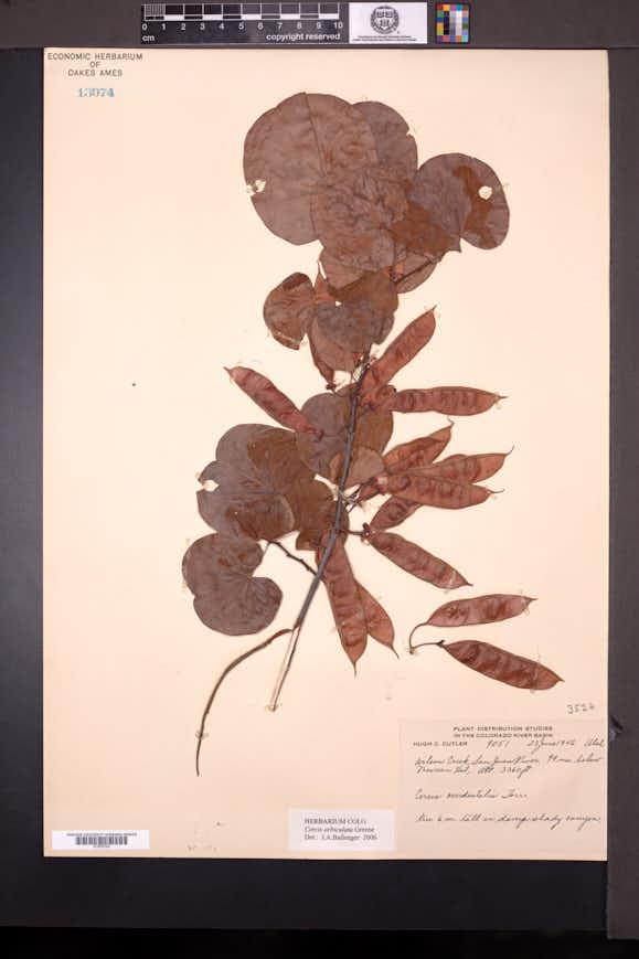 Cercis orbiculata image