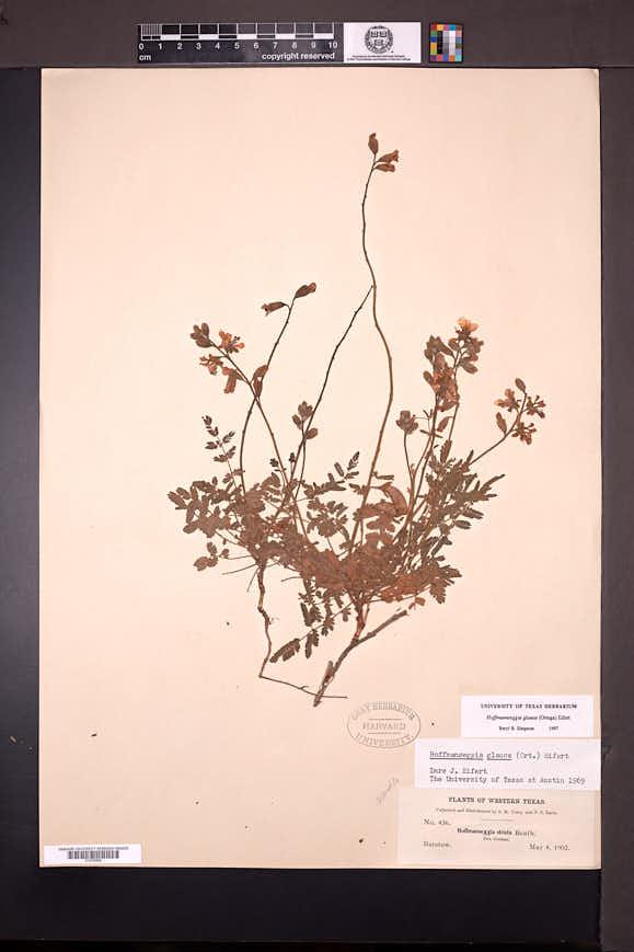 Hoffmannseggia glauca image