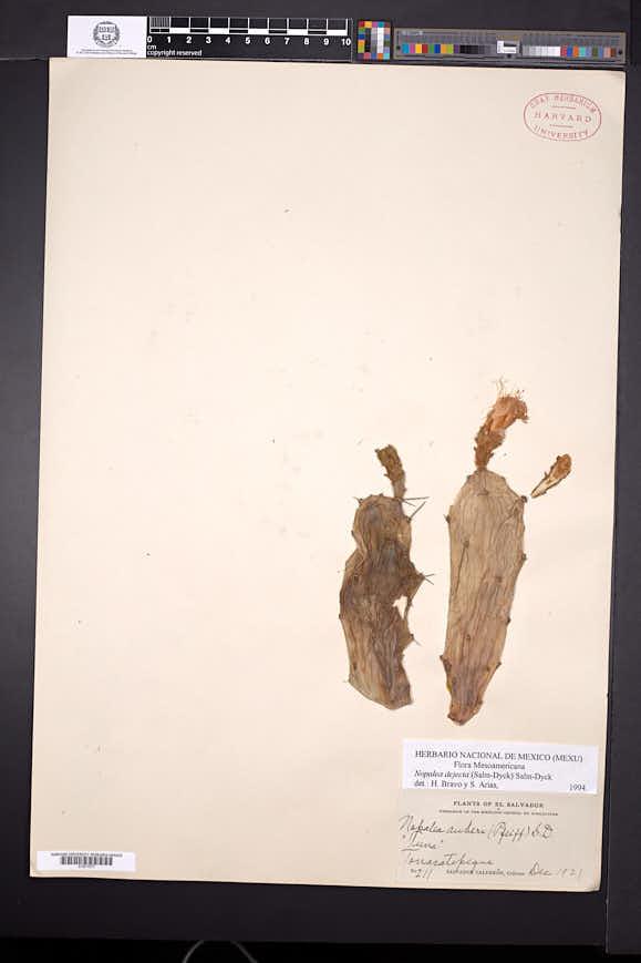 Opuntia dejecta image