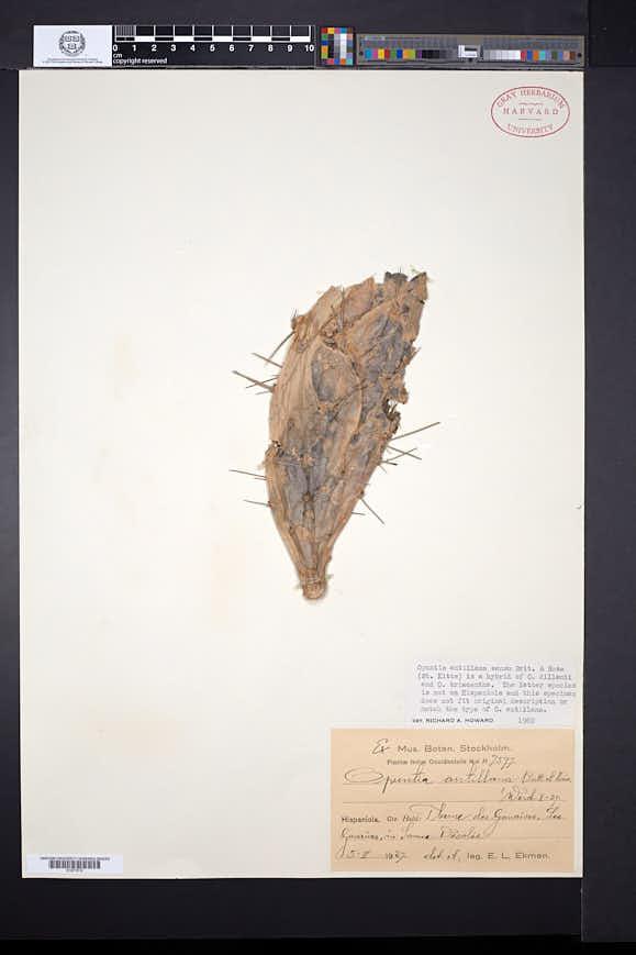 Opuntia antillana image