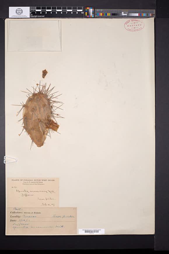 Opuntia curassavica image