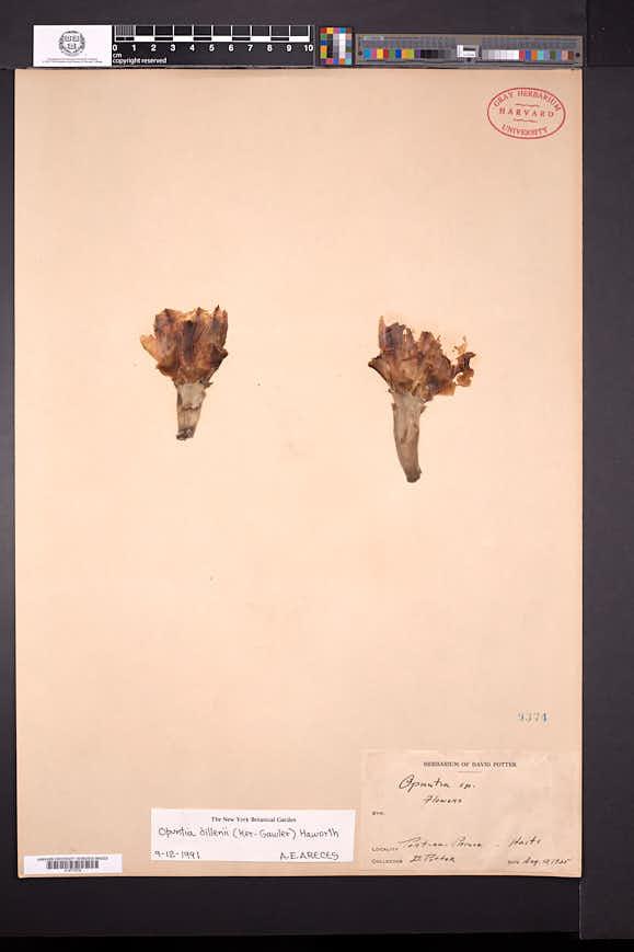 Opuntia dillenii image