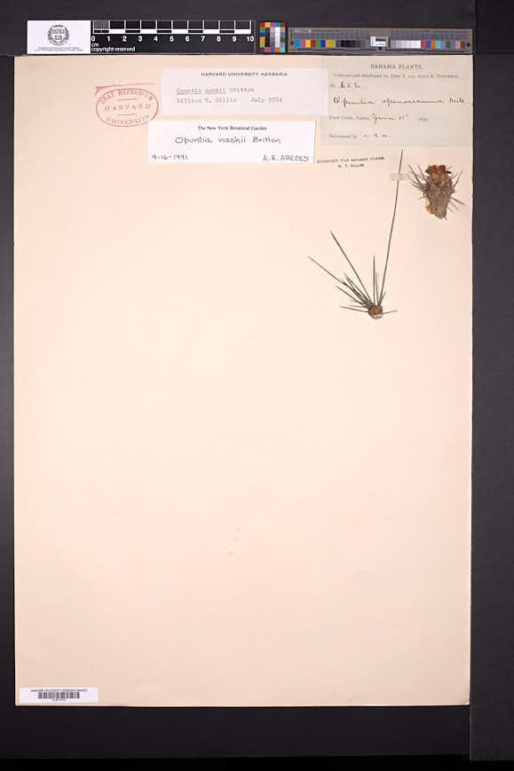 Consolea macracantha image