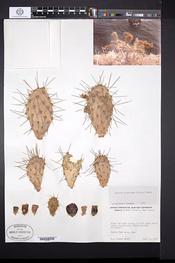 Opuntia triacantha image