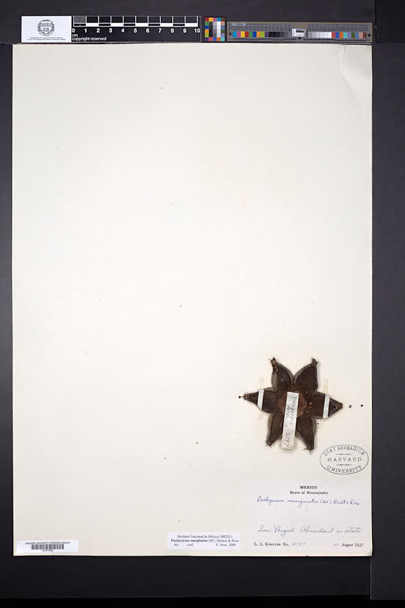 Pachycereus marginatus image