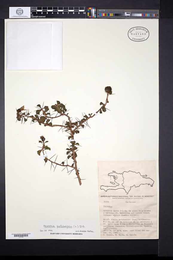 Pereskia portulacifolia image