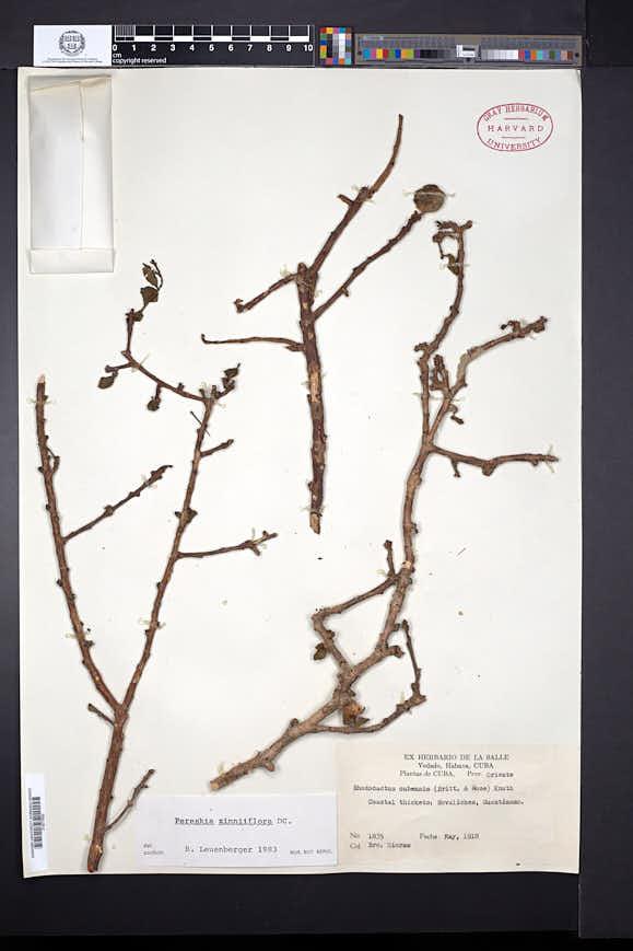 Pereskia zinniiflora image
