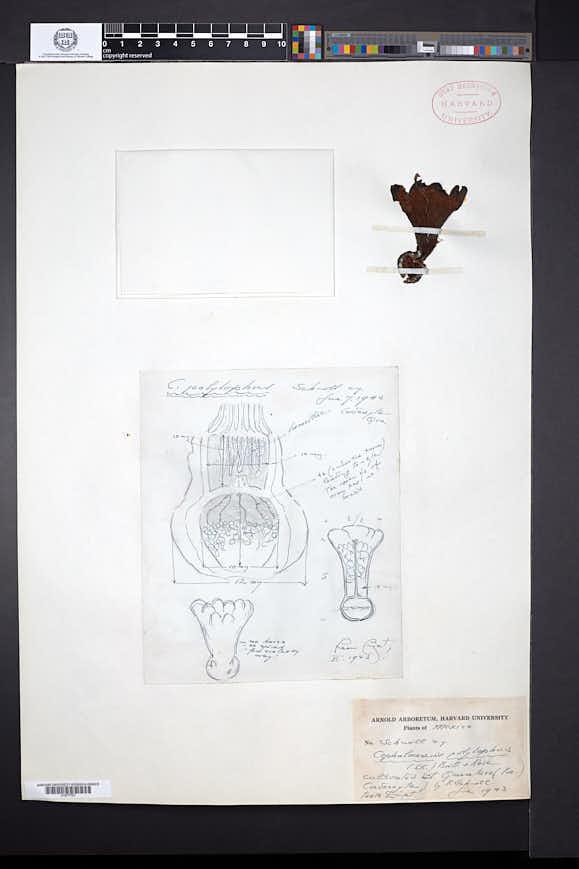 Neobuxbaumia polylopha image