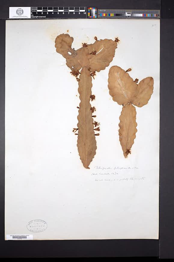 Image of Rhipsalis crispata