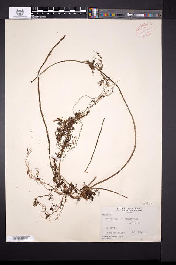 Image of Rhipsalis dissimilis
