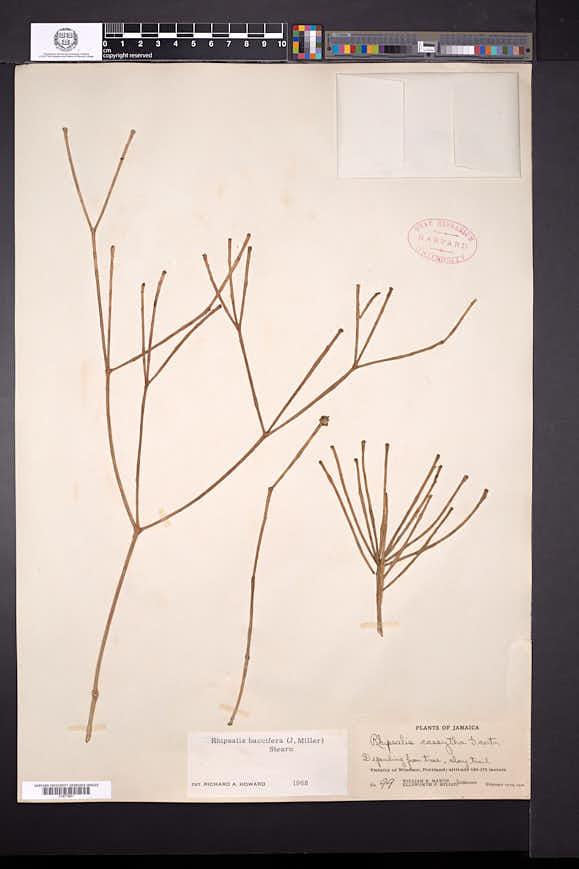 Rhipsalis baccifera image