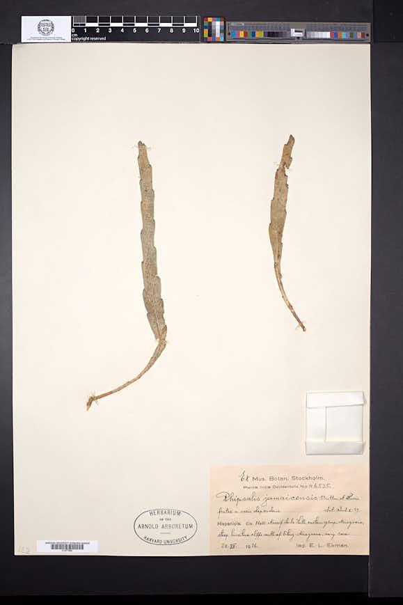Pseudorhipsalis ramulosa image