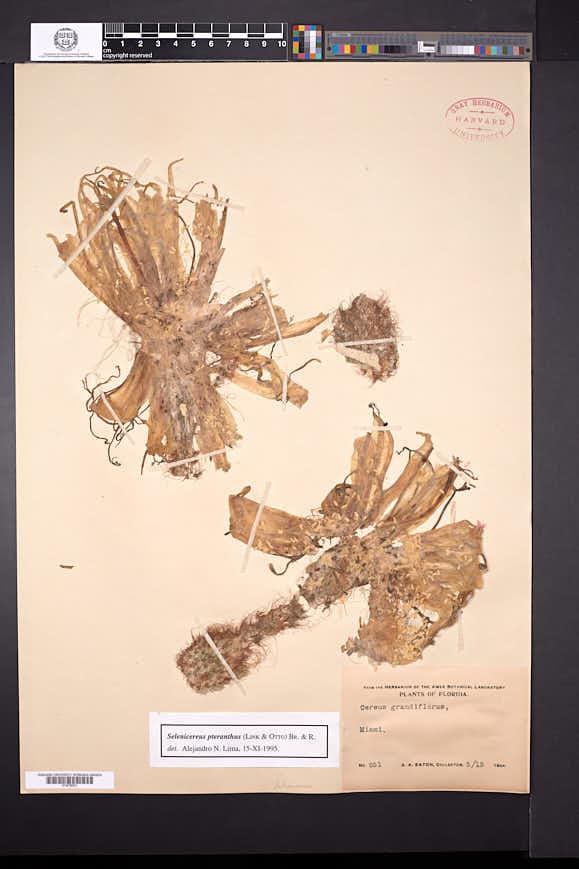Selenicereus pteranthus image